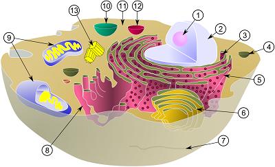 細胞断面図・⑨がミトコンドリア