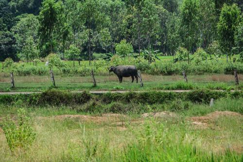 Wasserbüffel müsste man sein - den ganzen Tag nur grasen und fressen