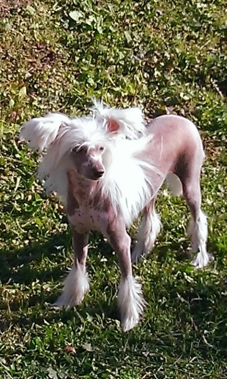 Del Terro Perros Vera Beautiful Blonde (Вера).  Вл. Шмелева Т.