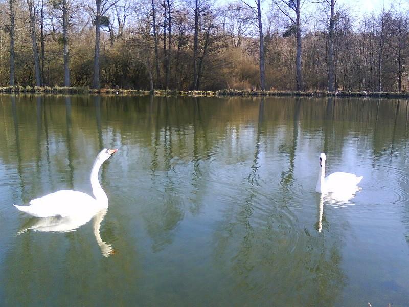 Danse des Cygnes sur les étangs du Moulin Bertrand 02860 MARTIGNY-COURPIERRE