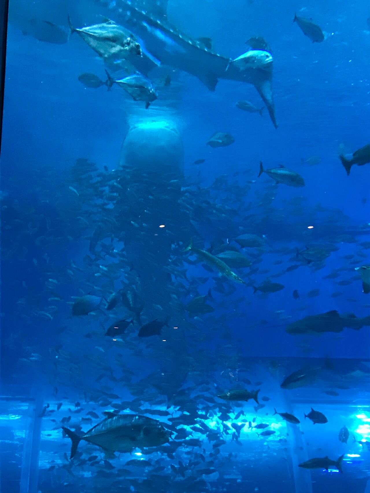 題名 美ら海の迫力・・・ジンベイザメのお食事中