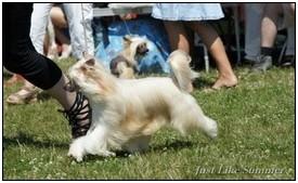 стандарт китайской хохлатой собачки