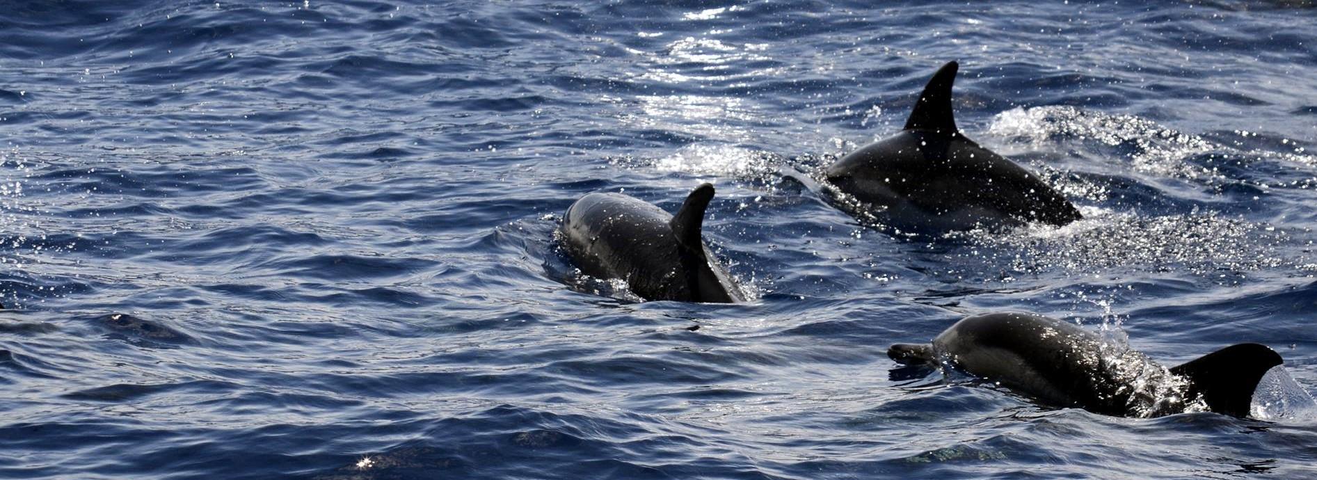 Faial & Pico: Meeressäuger im Nichts des Atlantiks [mehr...]
