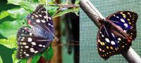 オオムラサキのメスとオス。オスがその名のように紫色のはねを持ち、メスは茶色です。