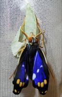 オオムラサキ 雄の羽化(羽が伸びる途中) 前翅長50mmまで伸びました