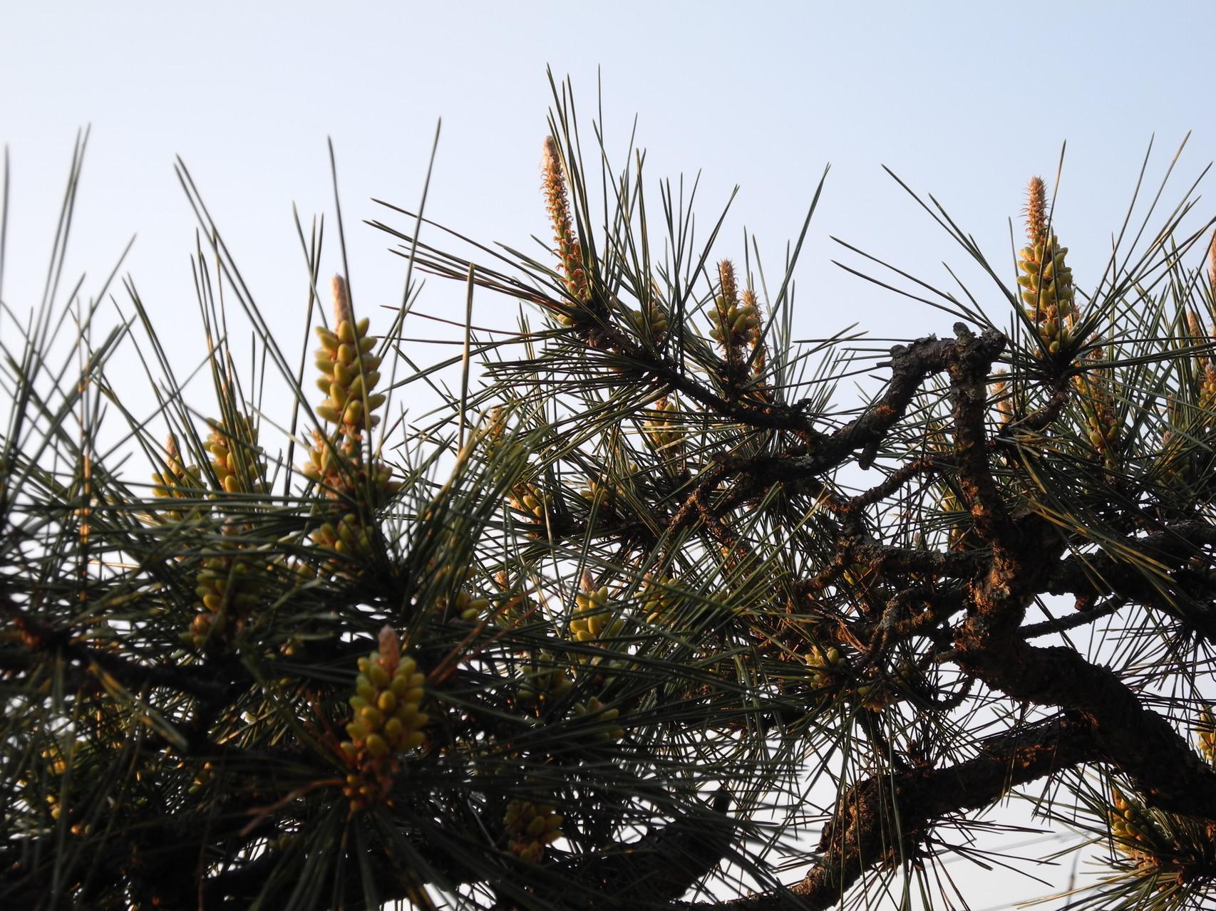 Pine Tree /14.04.26