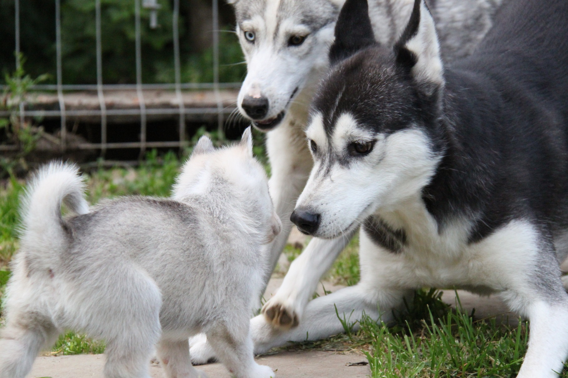 Howling Timber S Welpen Howling Timber S Siberian Huskys