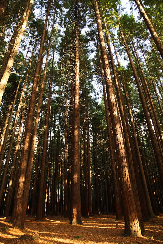 In den Redwoods bei Rotorua.