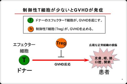 制御性T細胞が少ないとGVHDが発症