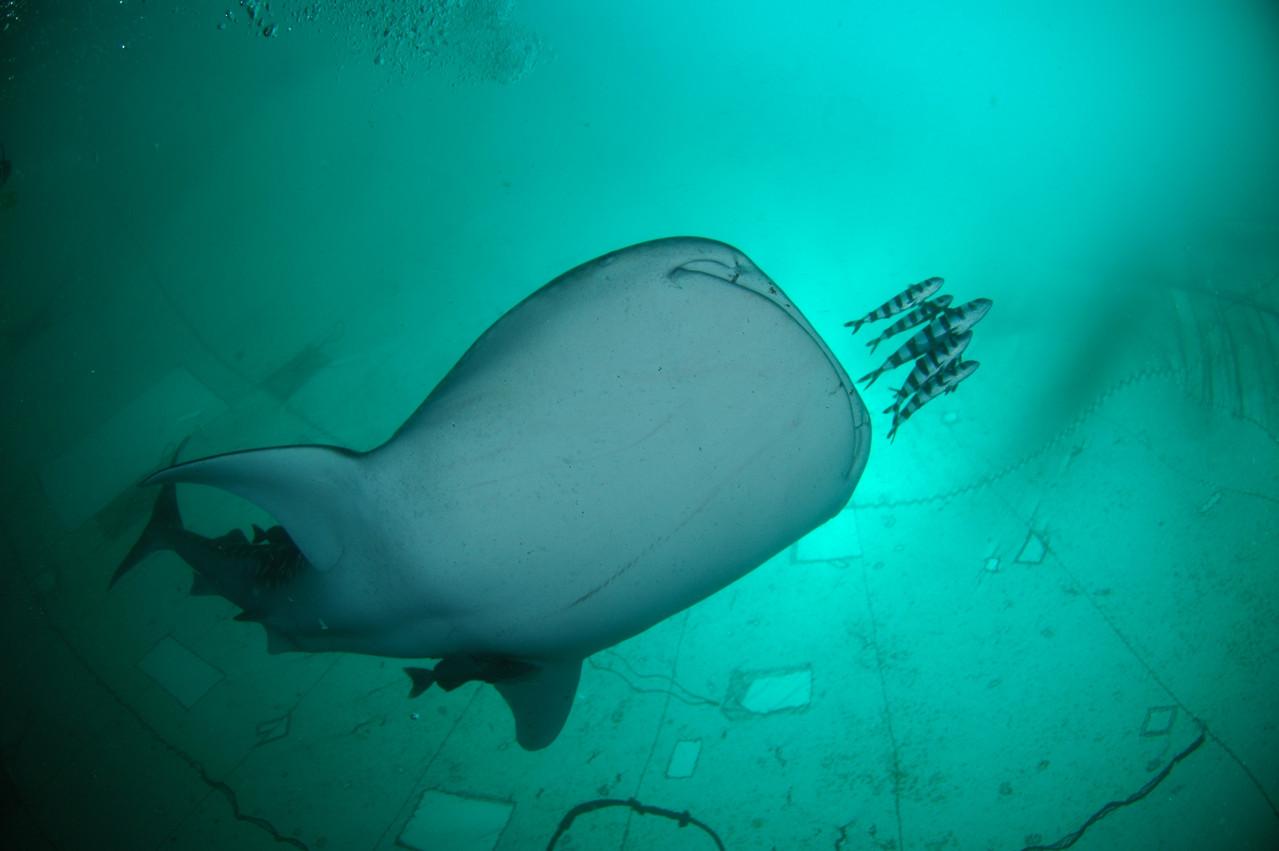 ジンベエザメが北川(ほっかわ)定置網に