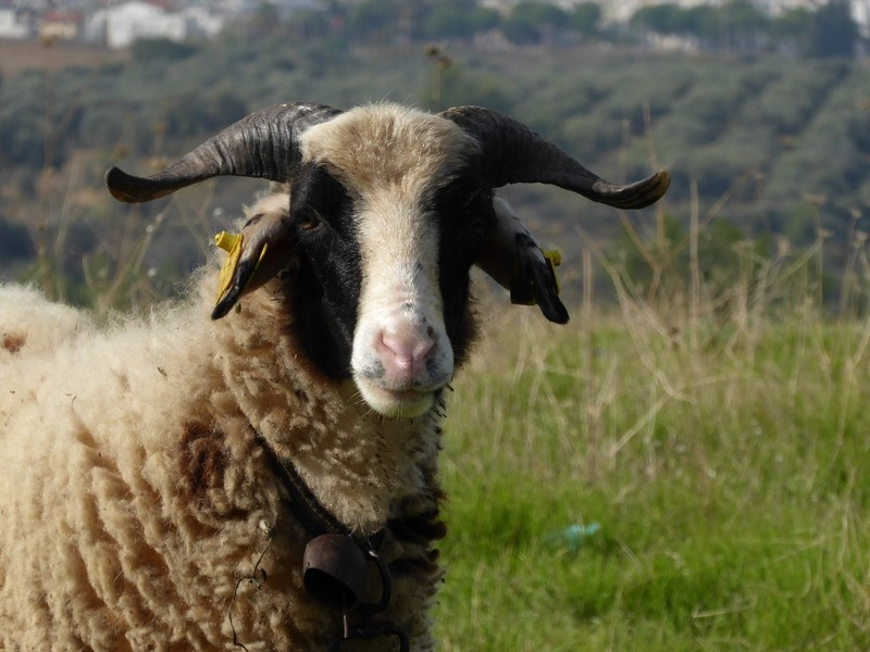 Nettes Schaf