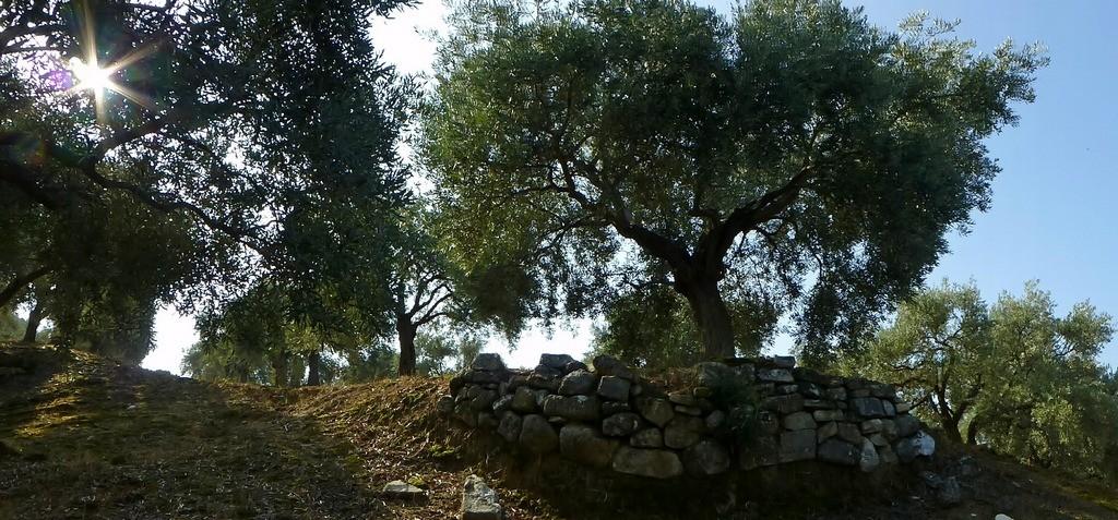 Olivenpanorama