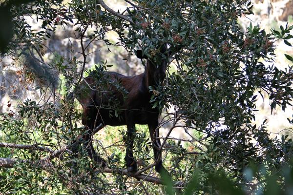 Ziege in Baum