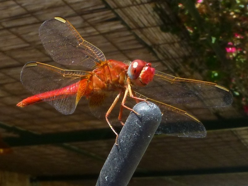 Antennen-Libelle