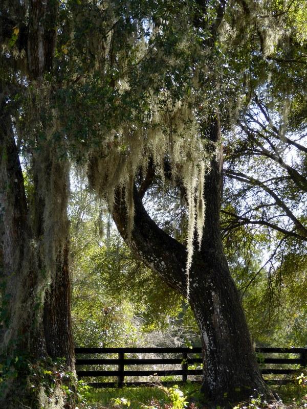 Fusselbäume auf dem Weg nach Orlando