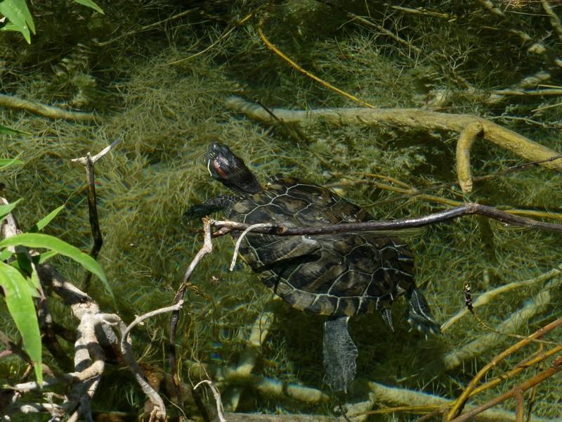 Wasserschildkröten (neugierig und sehr süß)