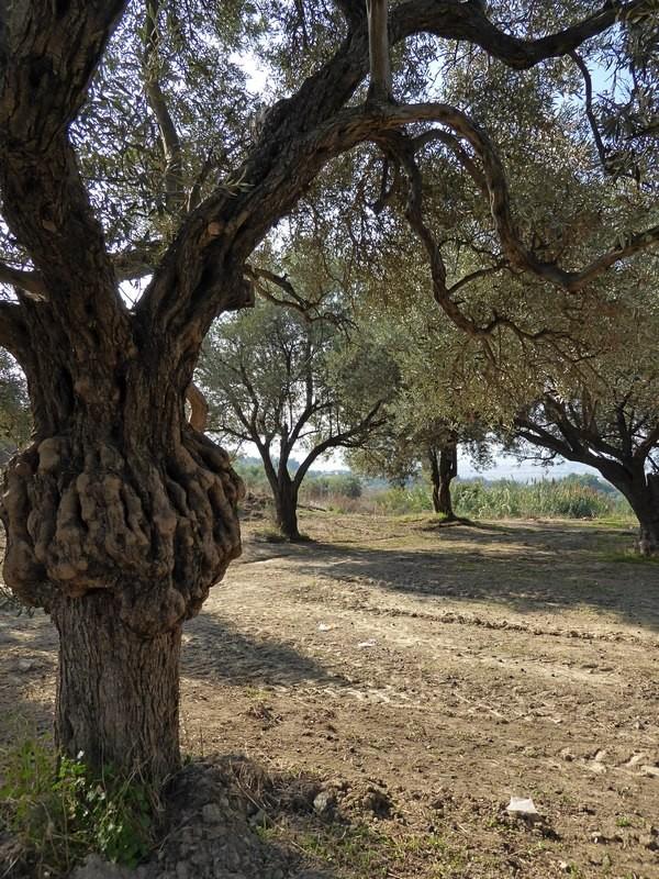 Olivenhain in Sogucak