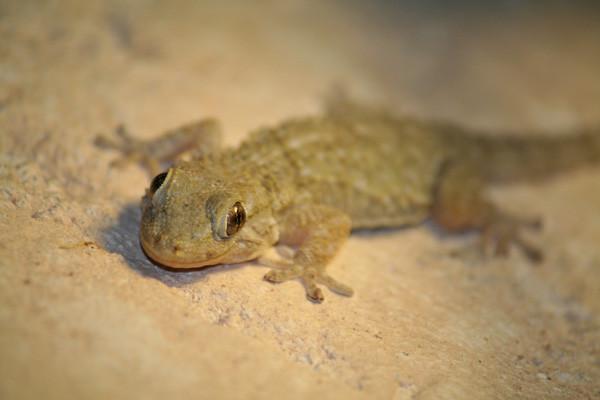 Hausgecko