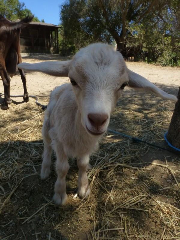Voll die süße Babyziege auf Rancho Grande