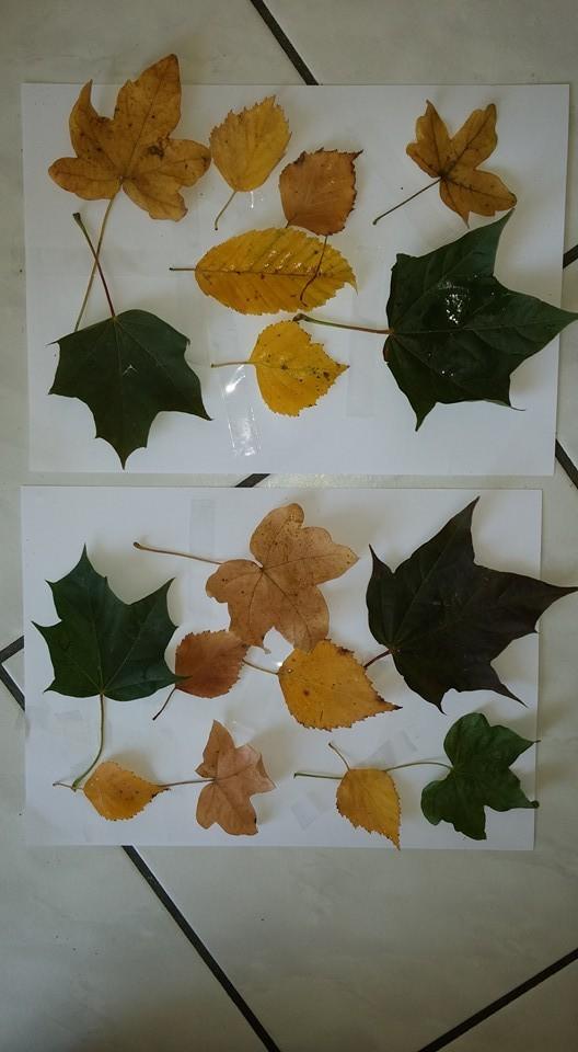 gesammelte Herbstblätter