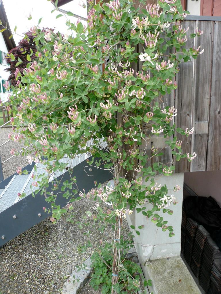 geissblatt (lonicera caprifolium)