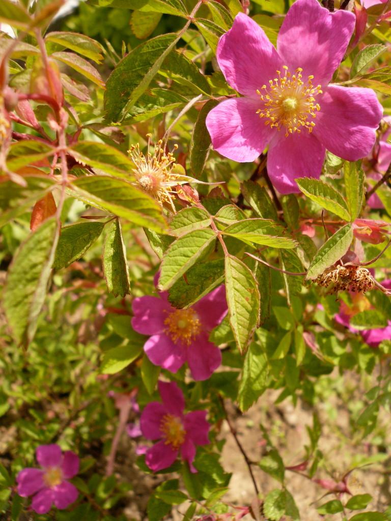 zimtrose (rosa majalis)