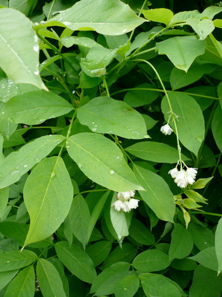 pimpernuss (staphylea pinnata)