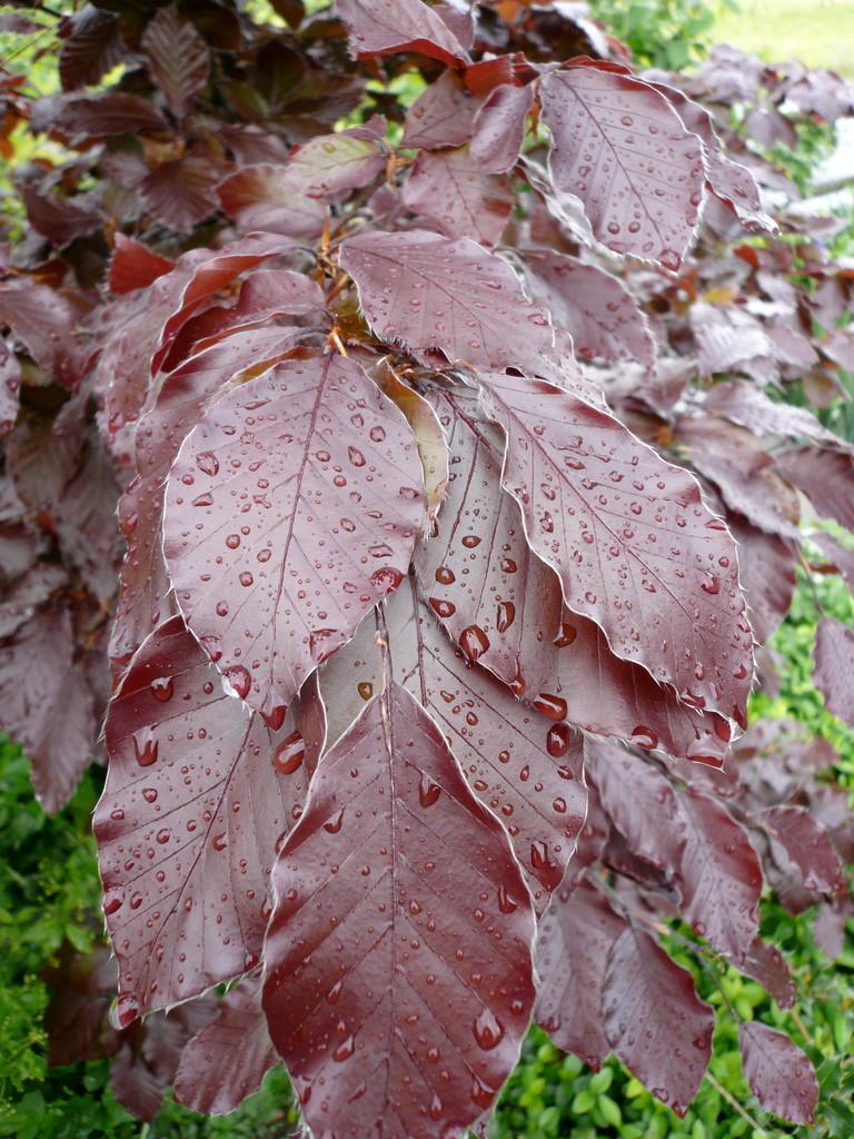 blutbuche (fagus sylvatica purpurea)