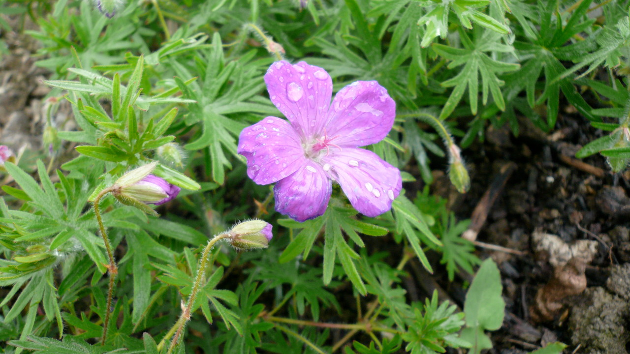 blut-storchschnabel (geranium sanguineum)