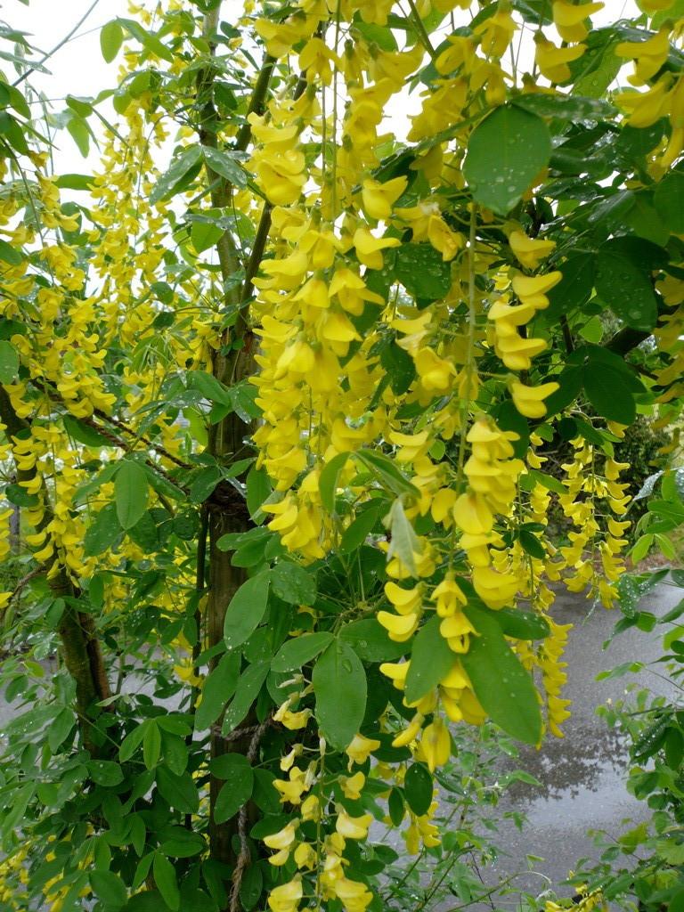 alpen-goldregen (laburnum alpinum)