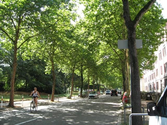 ドイツ・フライブルク市の通りの街路樹は樹齢200年を超える