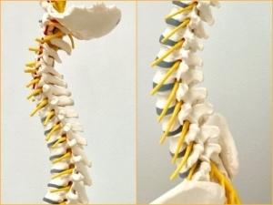 写真③ 脊柱の構造