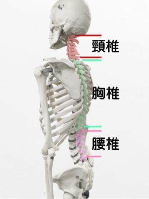 写真① 脊柱