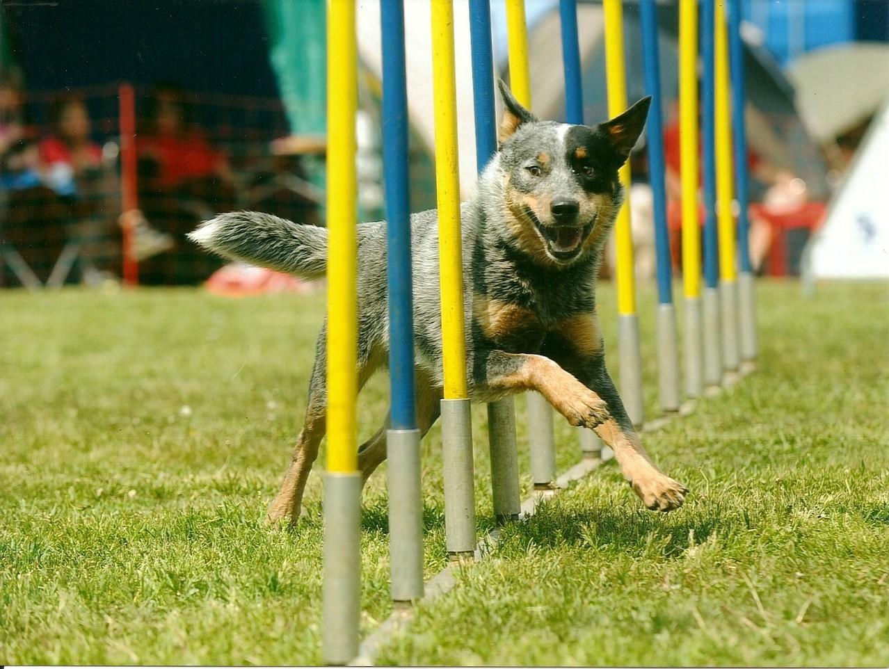 lächelnder Hund ;-) - Bax im Slalom