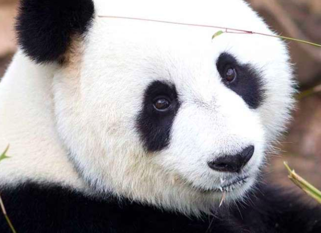 Say hello to FU NI, Adelaide Zoo, Adelaide, South Australia.