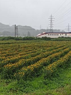 新幹線と紅花畑、のどかです。