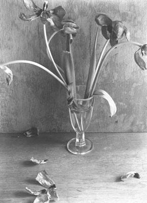 Manfred Paul (*1942)  - Tulpen Gelatin silver Printed 1979 - 20x24 (30x40) cm - © Manfred Paul