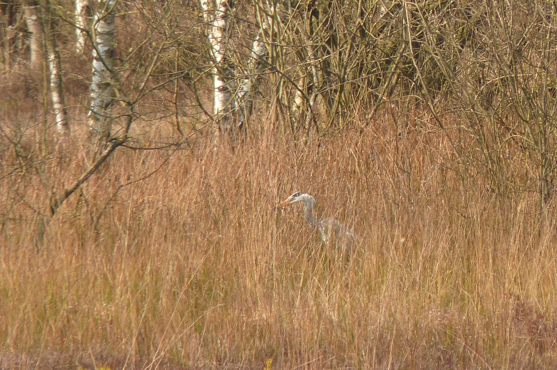 Ein Graureiher im Unterholz