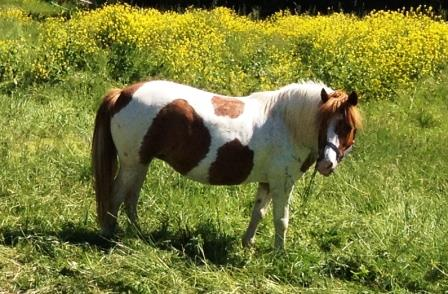 Pony auf der Weide