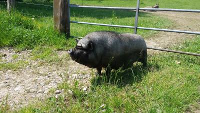 Kleintiergehege Hof-Hörnsee: Minischwein