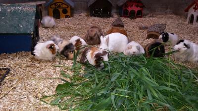 Kleintiergehege Hof-Hörnsee: Meerschweinchen