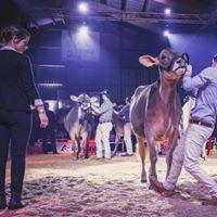 Die Championwahl der BV-Rinder, an der Rindernight Show in Sarnen