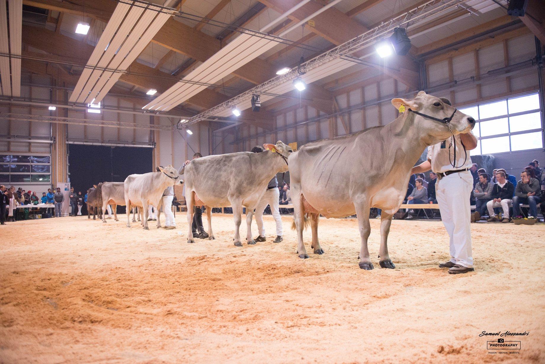 Fünf schönsten Kühe
