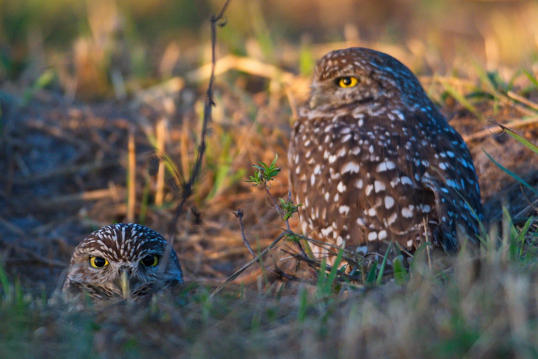 Burrowing Owls; Nikon D500 + AF-S 600