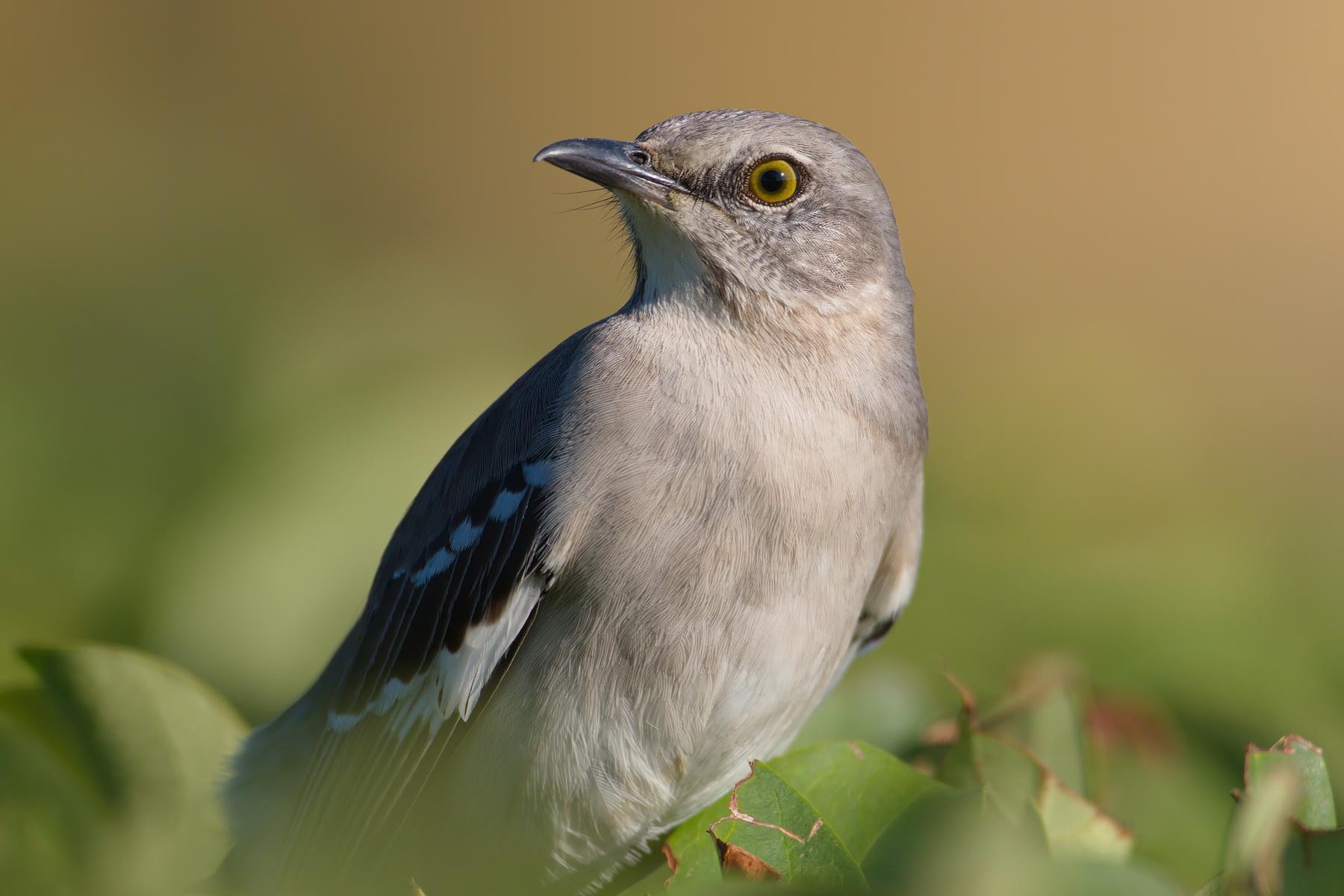 Ups...  Hat auch hübsche Augen, ist aber ein Mockingbird / eine Spottdrossel