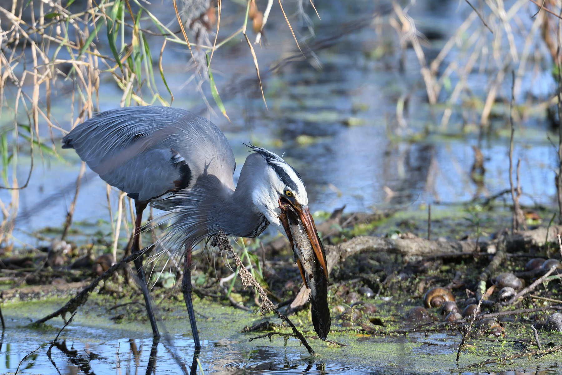 Circle B Bar Reserve / Great Blue Heron