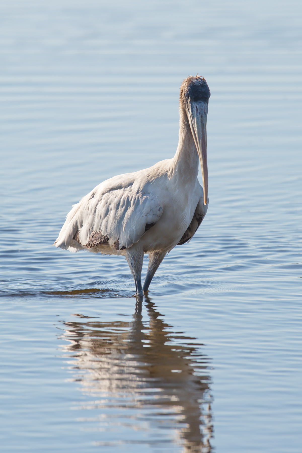 Sanibel Island; Wood Stork(s); Nikon D500 + AF-S 600mm