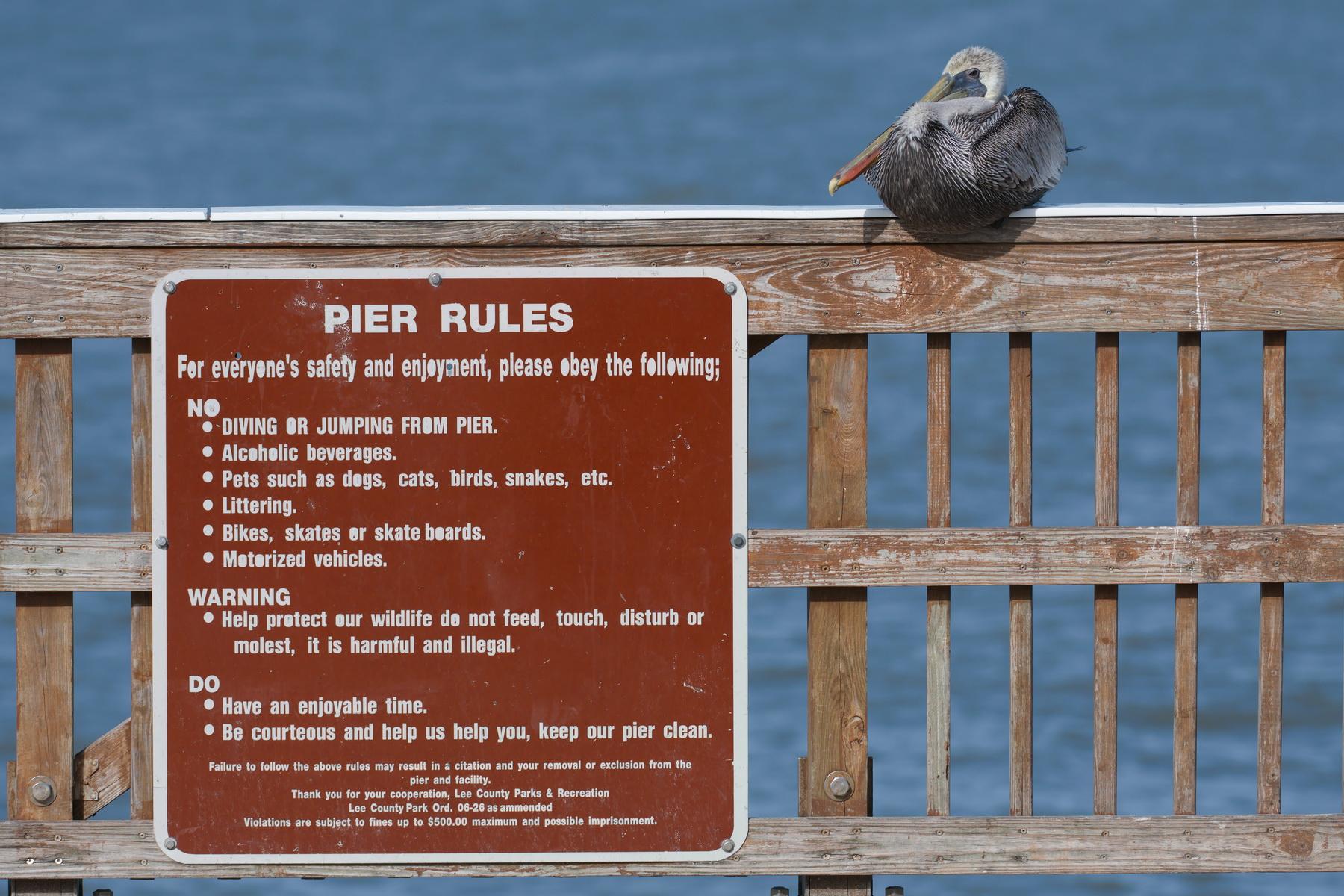 Brown Pelican; Ft. Myers Beach Fishing Pier; Nikon D500 + AF-S 200-400 @ 200 mm