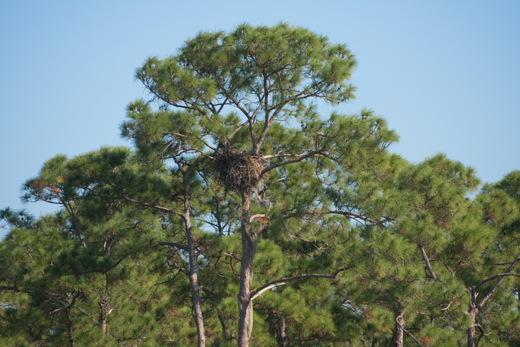 Bald Eagle*s Nest