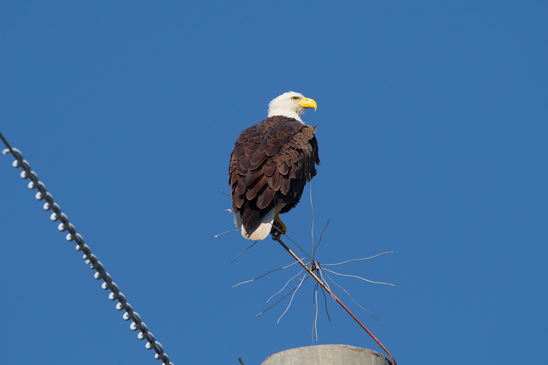Bald Eagle; Nikon D500 + AF-S 600 handheld